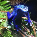 poisonous blue frog at the Boston Aquarium
